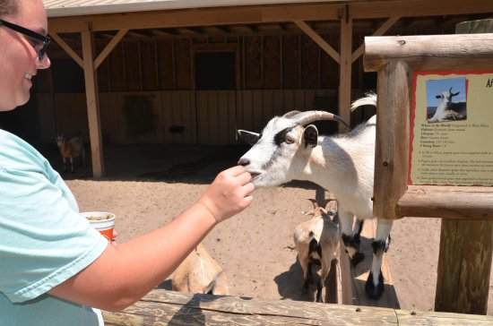 The Gulf Breeze ZOO: Feeding one of the friendly goats