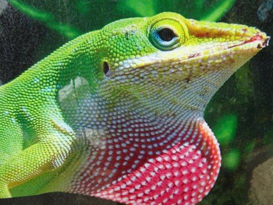 Cuban green Anole lizard plaza Pesquero;Rafael Freyre;Holguin