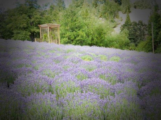Applegate, OR : Lavender festival 2016