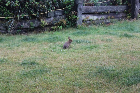 The Getaway: Bunny on our front lawn