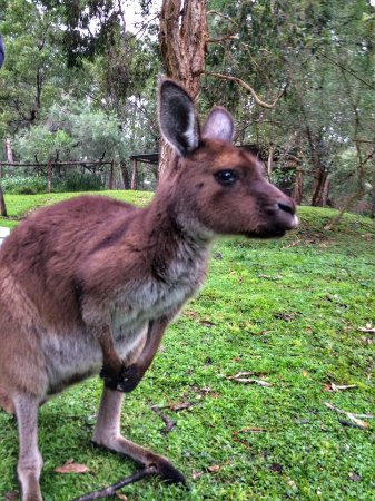 Vinetrekker Wine and Food Tours: Got to pet and feed this kangaroo at the Healesville Sanctuary