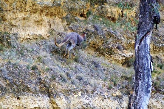 Morgan, Australien: Kangaroo on cliff