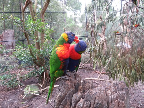 ‪‪Healesville‬, أستراليا: Rainbow Lorikeets in free-flight aviary‬