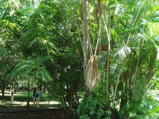 SSR Botanic Garden: Latasmie feuille from Seychelles