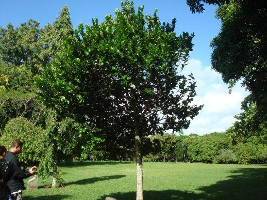 SSR Botanic Garden: Diospyros egrettarum ebony (Tree planted by Nelson Mandela)