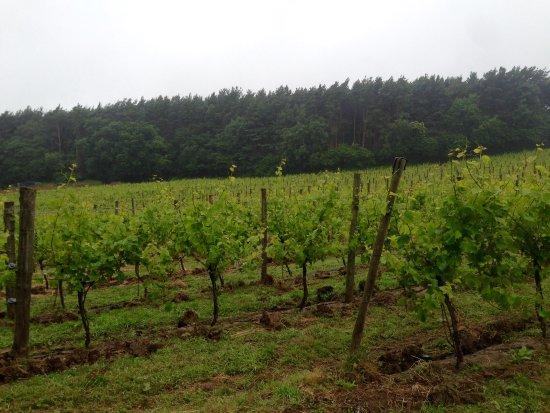 Sedlescombe, UK: Vineyard