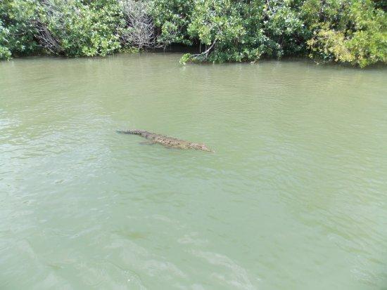 Black River, Jamaïque : crocodile