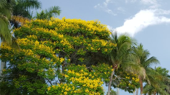 Lighthouse Restaurant & Bar : Tree nearby with beautiful yellow flowers