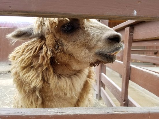 Melville, NY: Alpacas are so sweet!