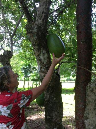 Caldera, Panama: Gourd trees