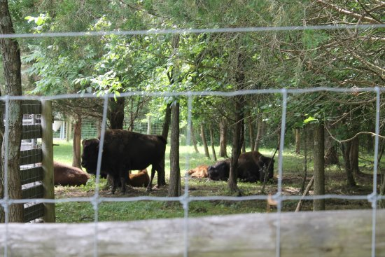 Union, KY: Bison with some babies, there are 2 in the picture