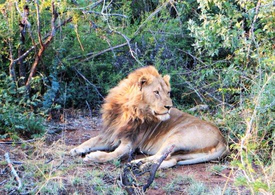 Impodimo Game Lodge: Lion in Madikwe