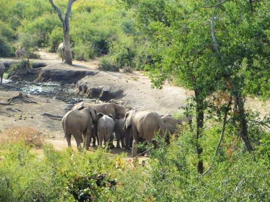 Impodimo Game Lodge: Elephants at the Impodimo water hole