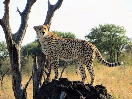 Impodimo Game Lodge: Cheetah