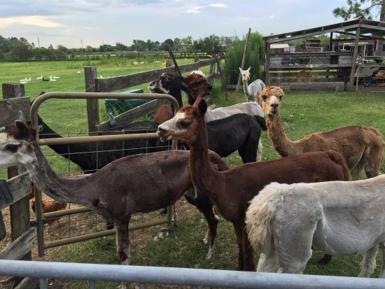 Chantilly Ridge Alpacas