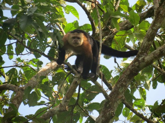 Fort San Lorenzo: Not sure which species of Capuchin this is
