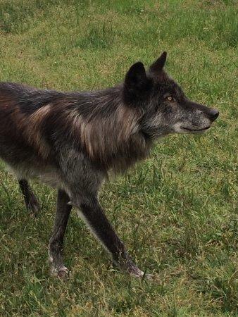 Yamnuska Wolfdog Sanctuary: photo0.jpg