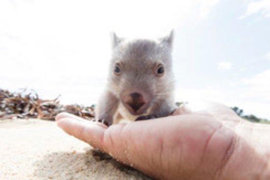 Tasmania, Australia: baby wombat at Flinders Island