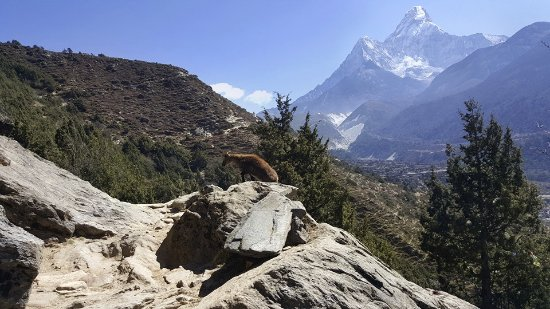 Kathmandu Valley, Nepal: herd of mountain goats crossing our paths