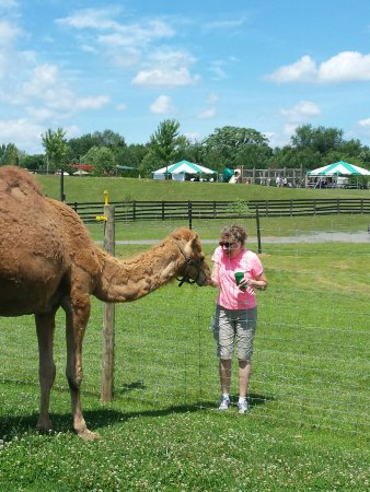 Leesburg, Wirginia: You can feed the camels