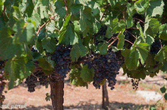 Ramot Naftali, Israel: 3 Vines Winery