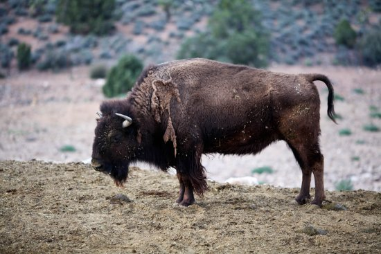 Meadview, AZ: Bison at the Grand Canyon Ranch