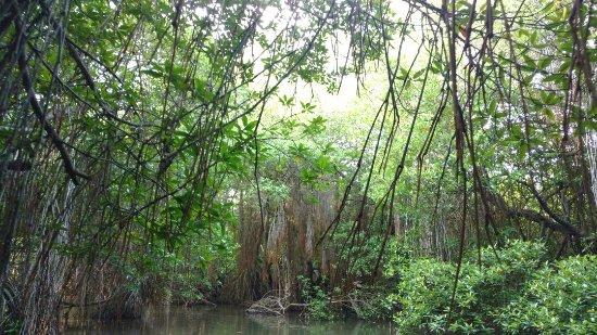 Bentota, Sri Lanka: Mangrove forest