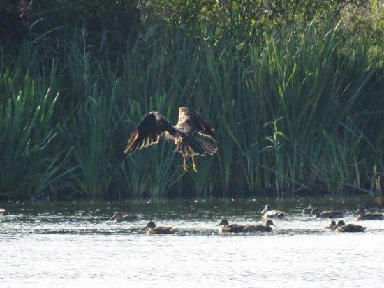 Silverdale, UK: Marsh Harrier fancying duck for dinner!