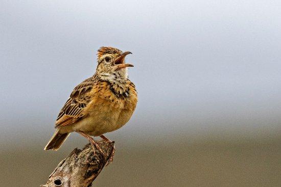 Park Narodowy Krugera, Republika Południowej Afryki: crested lark