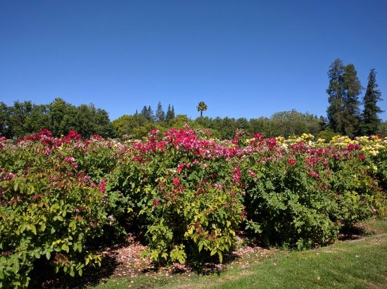 Municipal Rose Garden Picture Of Municipal Rose Garden