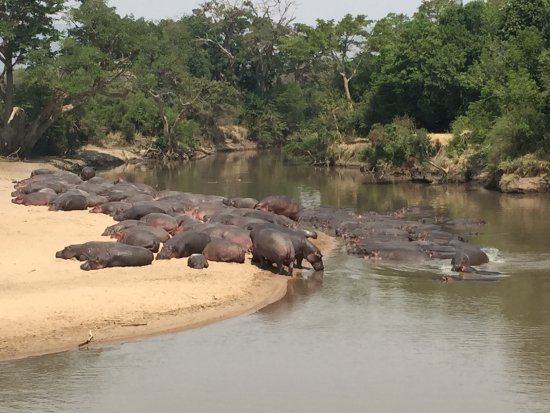 Soroi Serengeti Lodge: Some lazy hippos!