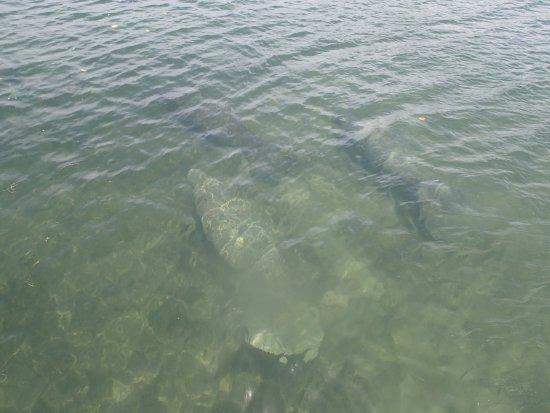 Turneffe Island, Belice: manatees