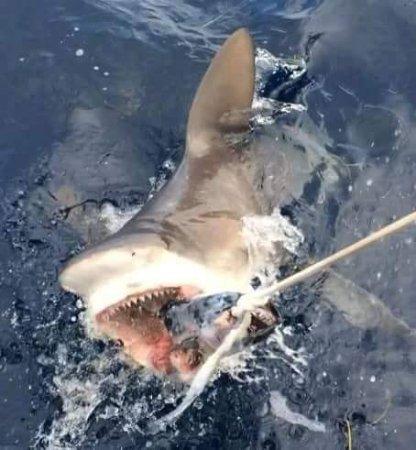 Jupiter, FL: Sharks right at the boat!!!