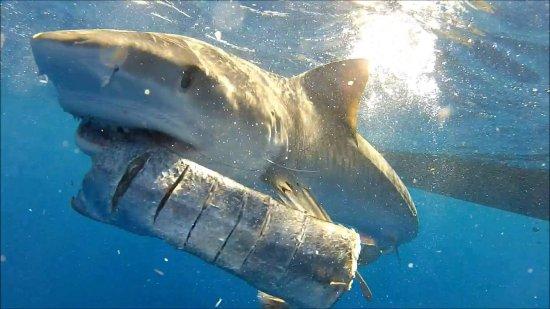 Jupiter, FL: Tiger Shark