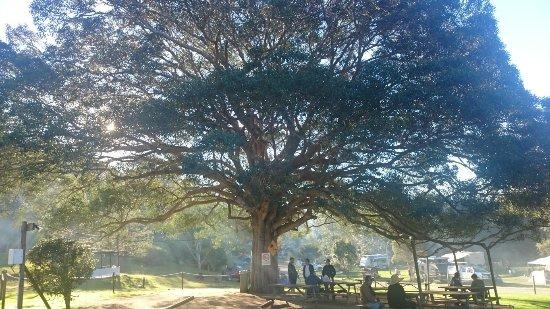 Woodford, Australia: fig tree next door to camp site