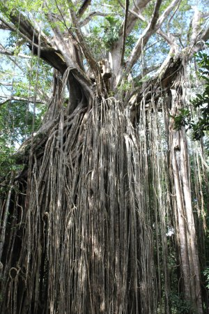 Yungaburra, Avustralya: Stunning Curtain Fig Tree 500 years old
