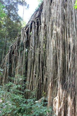 Yungaburra, Australia: Amazing Tree Growth - Curtain Fig Tree Yunguburra