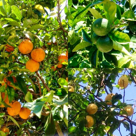 Beautiful orange, lemon and lime groves in the hotel\'s garden ...
