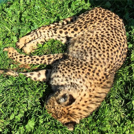 Spata, Grekland: Jaguar