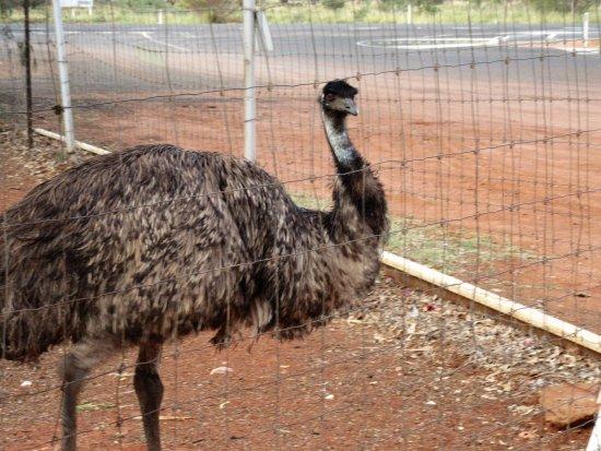 Northern Territory, Australien: A emu at Stuart's Well