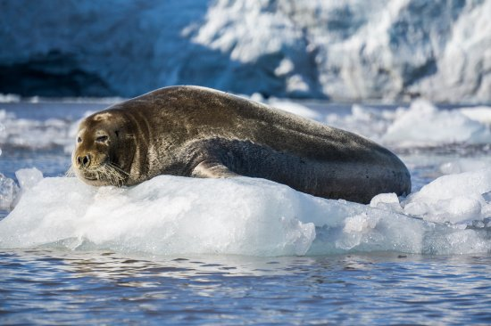 Longyearbyen, Noruega: our cute seal friend