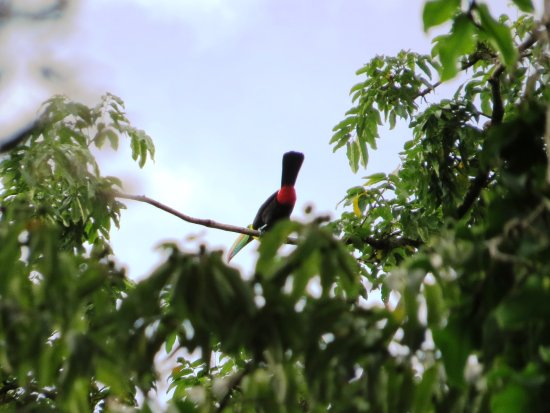 Korrigan Lodge: En la cumbre de un árbol al fondo del hotel, un tucán con sus hermanos...