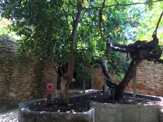 Forestiere Underground Gardens: The Garden, Citrus Trees.