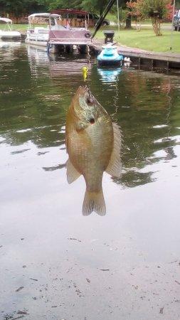 Lela's Landing : beautiful fish we caught so many
