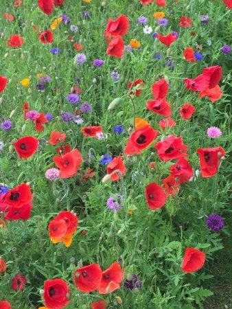 East Preston, UK : Wild Flowers in the Village