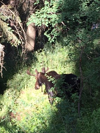 Wilson, WY: moose on property on evening