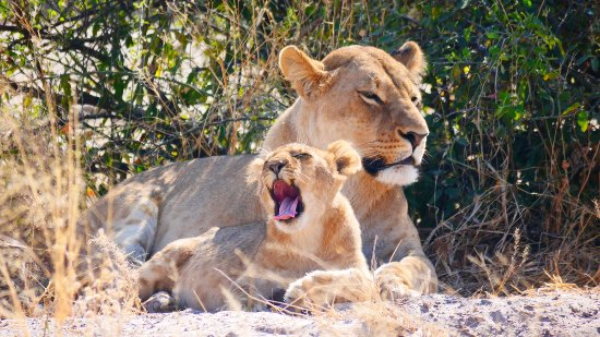 Savute Safari Lodge: lioness with cub