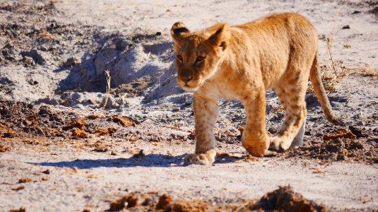 Savute Safari Lodge: cub