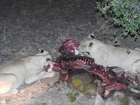Honeyguide Tented Safari Camps: lions at a kill (they killed a kudu)