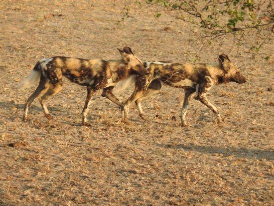 Honeyguide Tented Safari Camps: wild dogs